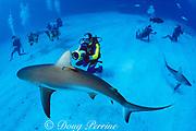 "Dr. Erich Ritter shoots video to document shark behavior at "" Shark Rodeo "", Walker's Cay, Bahamas ( Atlantic Ocean )<br /> MR 252, Caribbean reef shark in foreground, Carcharhinus perezi"
