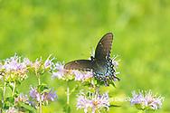 03023-03218 Eastern Tiger Swallowtail (Papilio glaucus) female black form on Wild Bergamot (Monarda fistulosa) Marion Co. IL
