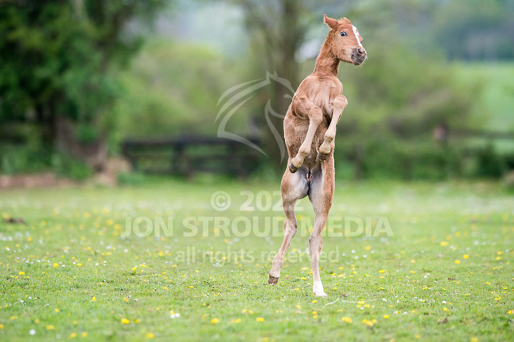 A foal at play - Nailsworth, Gloucestershire, United Kingdom - May 2014