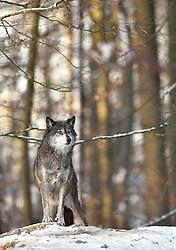 28.12.2014, Wildtierpark, Bad Mergentheim, GER, Wölfe im Wildtierpark Bad Mergentheim, im Bild Timberwolf, Kanadischer Wolf (Canis lupus occidentalis) im Schnee, haelt Ausschau, captive // Wolves in the Wildtierpark in Bad Mergentheim, Germany on 2014/12/28. EXPA Pictures © 2015, PhotoCredit: EXPA/ Eibner-Pressefoto/ Weber<br /> <br /> *****ATTENTION - OUT of GER*****