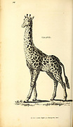 Giraffe full body from General zoology, or, Systematic natural history Vol II Part 2 Mammalia, by Shaw, George, 1751-1813; Stephens, James Francis, 1792-1853; Heath, Charles, 1785-1848, engraver; Griffith, Mrs., engraver; Chappelow. Copperplate Printed in London in 1801 by G. Kearsley