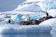 imperial shag (Phalacrocorax atriceps) AKA antarctic shag on land photographed in Wilhelmina Bay Antarctica in November.