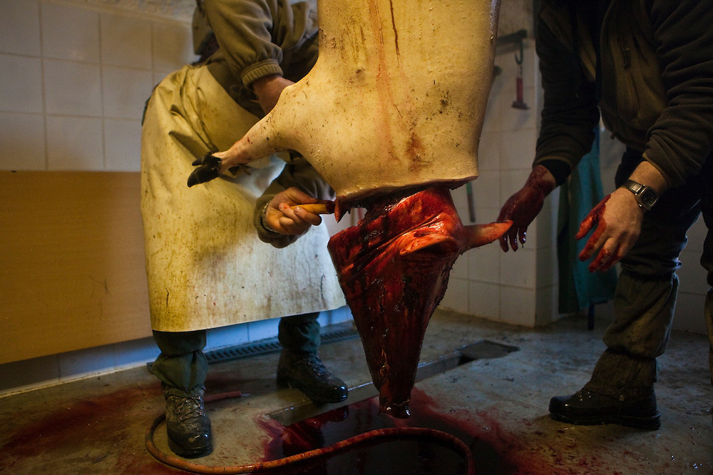 The village's hunting association butchers a wild boar, to be shared among the club's members, in Barnave, Drôme valley, France.