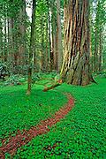 Trail through old growth redwoods in the Stout Grove, Jedediah Smith SP, Redwood National Park, California USA