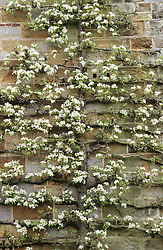 A trained pear in blossom  on the wall of the house at Great Dixter.