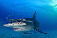 Wonderful and Weird: Bahamas Hammerhead sharks