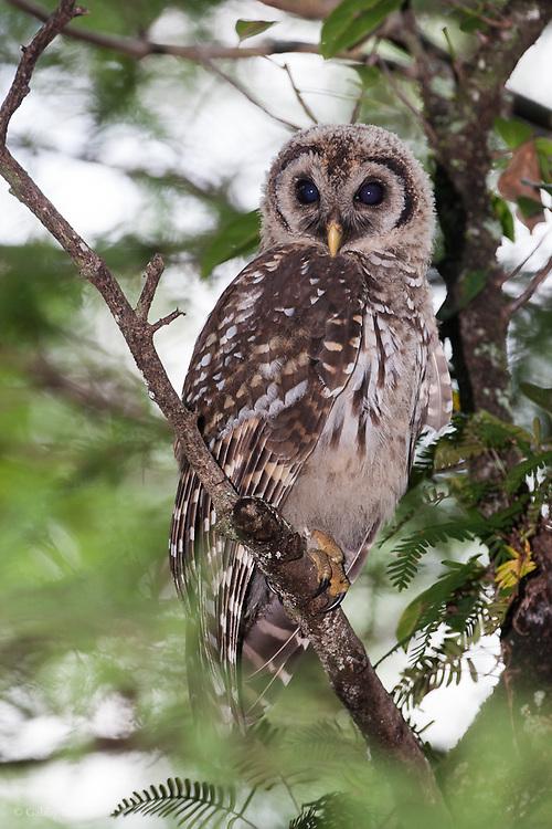 Barred owl (Strix varia), Everglades National Park, Florida.