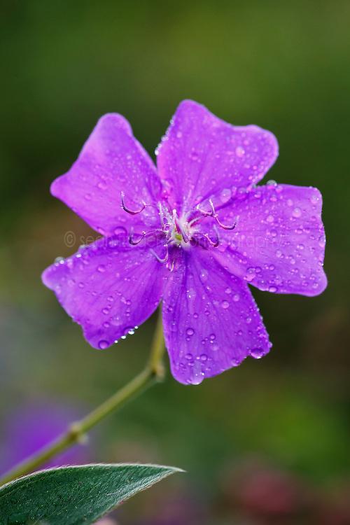 Purple flower, Ecocentro Danaus Biological Reserve, Costa Rica.