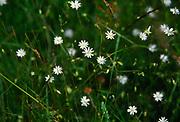 AREKK3 Lesser stitchwort Suffolk, England