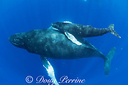 humpback whales, Megaptera novaeangliae, mother and calf, accompanied by opelu, or mackerel scad, Decapterus macarellus, which may be feeding on loose skin from the whales, West Maui, Hawaii, Hawaii Humpback Whale National Marine Sanctuary, USA ( Central Pacific Ocean )