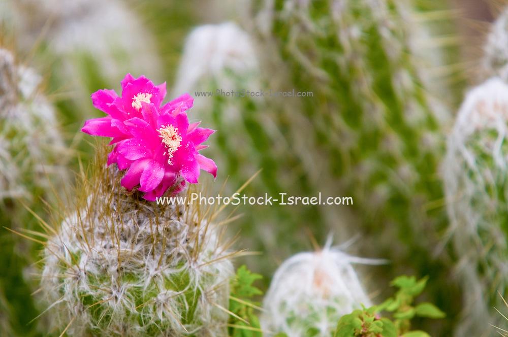 Flowering Strawberry Hedgehog Cactus (Echinocereus engelmannii) in a cactus garden