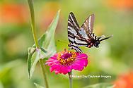 03006-00403 Zebra Swallowtail (Protographium marcellus) on Zinnia Union Co. IL