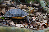 Chinese Box turtle or Yellow-margined turtle, Cuora flavomarginata, Banyan garden protected forest, Kenting National Park, Taiwan