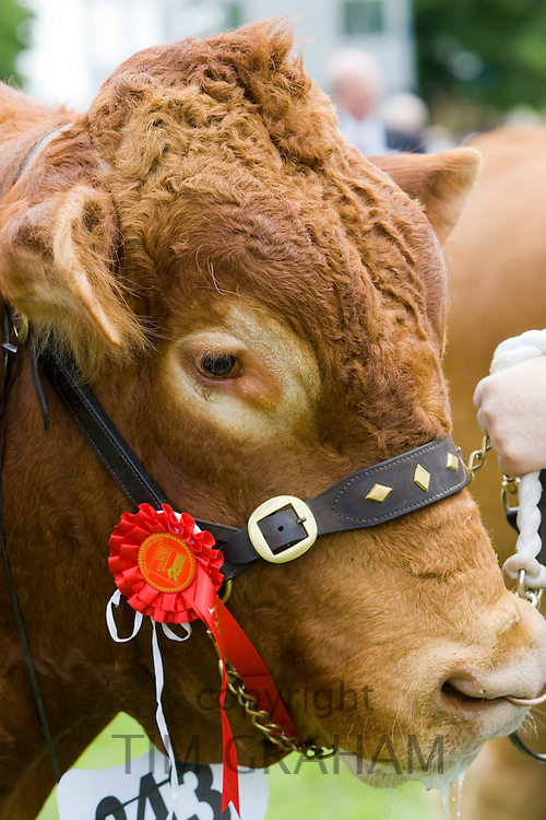 South Devon Bull, champion winner of first prize rosette at Three Counties Show in Malvern, Worcestershire, UK