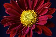 Image of a daisy