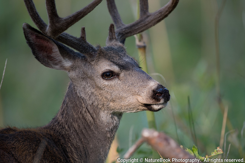 Yosemite mule deer looks content as it walks through the meadows of the park