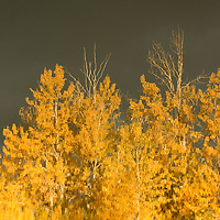 Fall-colored cottonwoods & aspens reflected in Mystic Heights Pond, near Bozeman Montana.