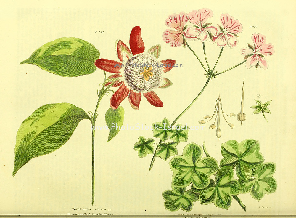 Passiflora Alata from Vol II of the book The universal herbal : or botanical, medical and agricultural dictionary : containing an account of all known plants in the world, arranged according to the Linnean system. Specifying the uses to which they are or may be applied By Thomas Green,  Published in 1816 by Nuttall, Fisher & Co. in Liverpool and Printed at the Caxton Press by H. Fisher
