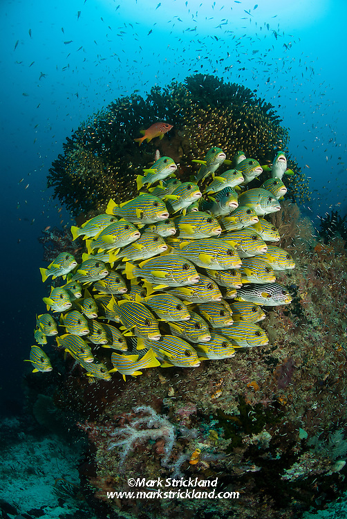 A tightly packed school of Ribbon Sweetlips, Plectorhinchus polytaenia, with several other sweetlips species, hovers in formation near a coral bommie. Raja Ampat, Indonesia, Pacific Ocean