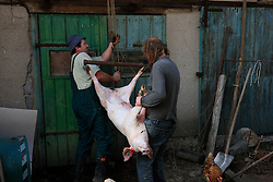 CZECH REPUBLIC VYSOCINA NEDVEZI 10APR09 - Skinned pig gets hoised for disembowelment after  slaughter in the backyard of a farm in the village of Nedvezi in the Czech Republic. Slaughtering pigs at home is an old tradition in central and eastern Europe. EU regulations and health and hygiene rules state that animals can only be slaughtered by licensed butchers...jre/Photo by Jiri Rezac..© Jiri Rezac 2009