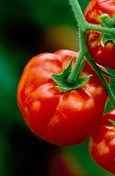Tomato 'First Prize'