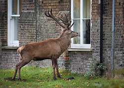 © Licensed to London News Pictures. 09/11/2019. London, UK. A deer looks into the window of a house that backs onto Bushy Park in south west London. A cold spell is forecast in parts of the United Kingdom. Photo credit: Peter Macdiarmid/LNP