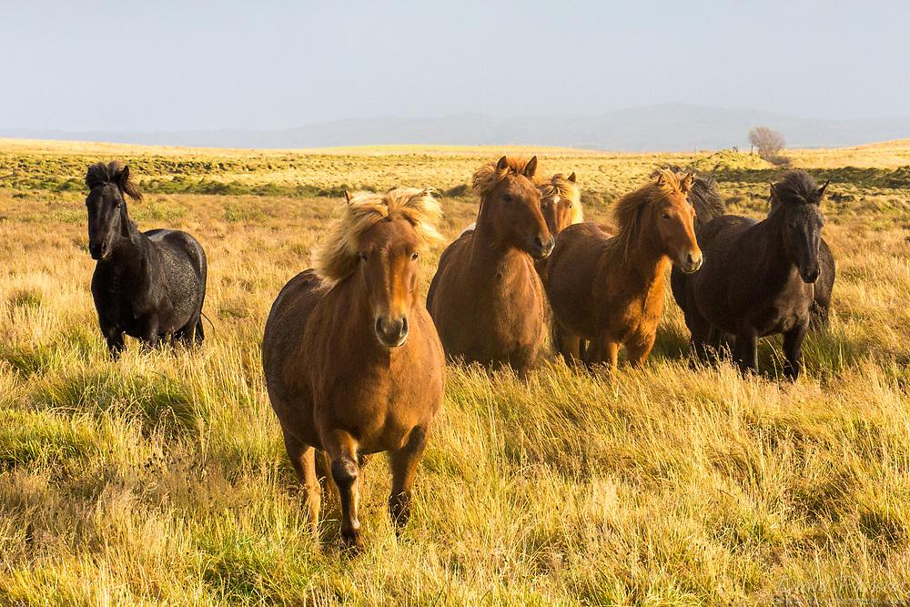 Icelandic horses in the wind