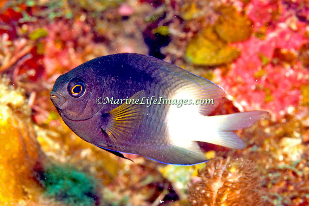 Bicolor Damsilfish inhabit patch reefs and areas of sand and coral rubble, in Tropical West Atlantic; picture taken Roatan. Honduras.