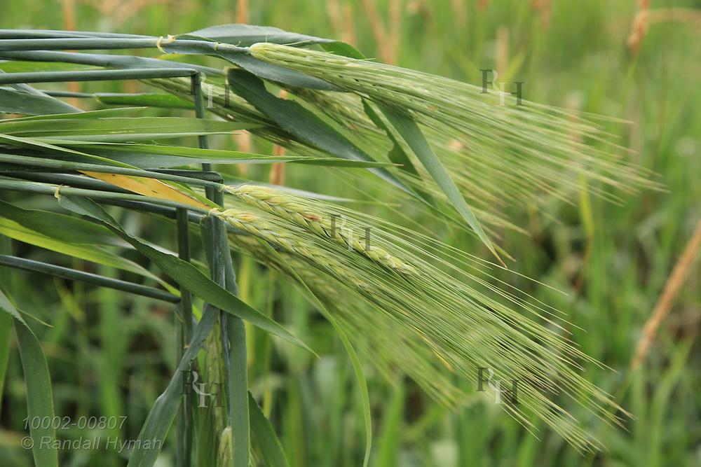 Barley grown as experimental cover crop to improve soil health on farm in Washington County, Iowa.