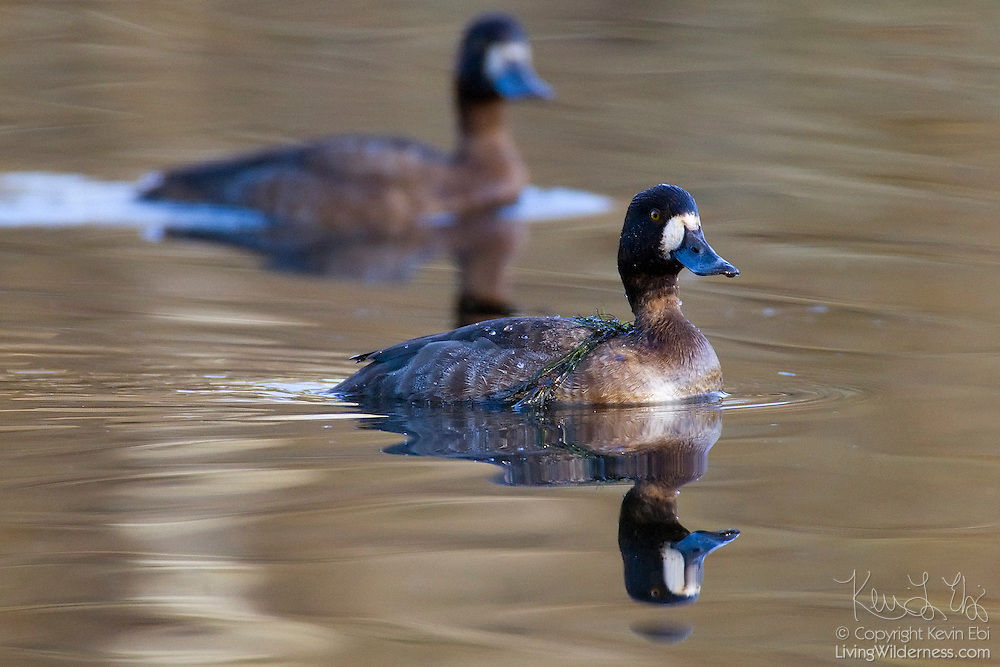 Two female greater scaups (Aythya marila) swim in the Washington Park Arboretum in Seattle. Lesser scaups dive to feed on plant seeds, snails, insects, and crustaceans.