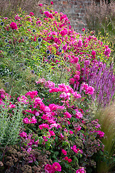 Border at Wynyard Hall with Rosa gallica var. officinalis AGM - Apothecary's rose, Rosa 'Tam O'Shanter' syn. 'Auscerise', echinops and salvias