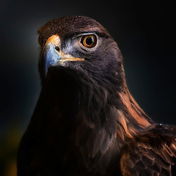 A Golden Eagle Profile - Minnesota USA