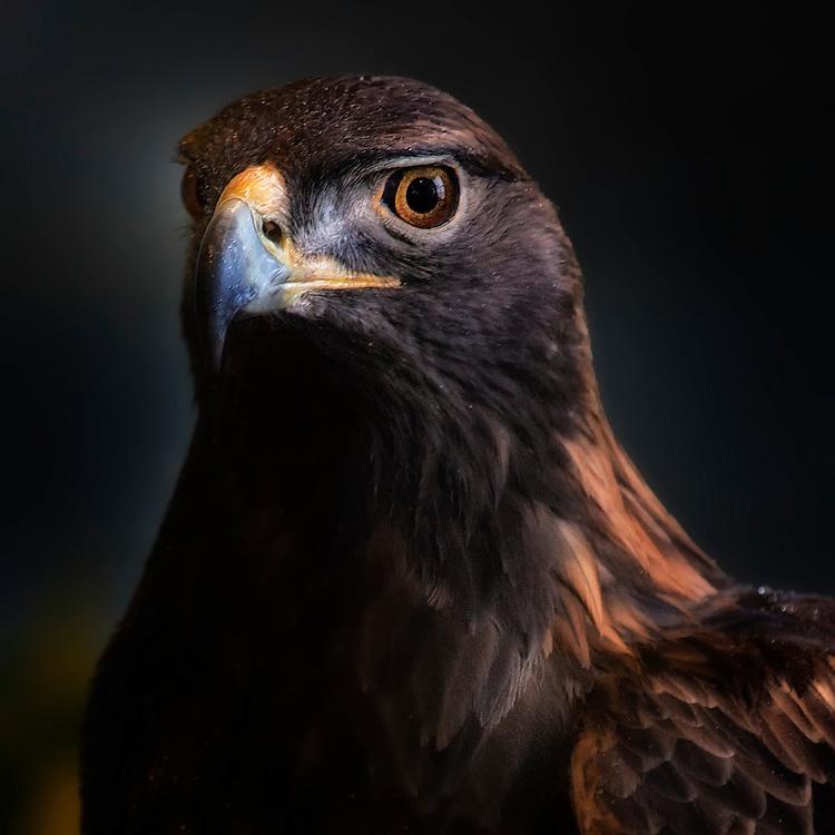 A Golden Eagle Profile - Minnesota USA