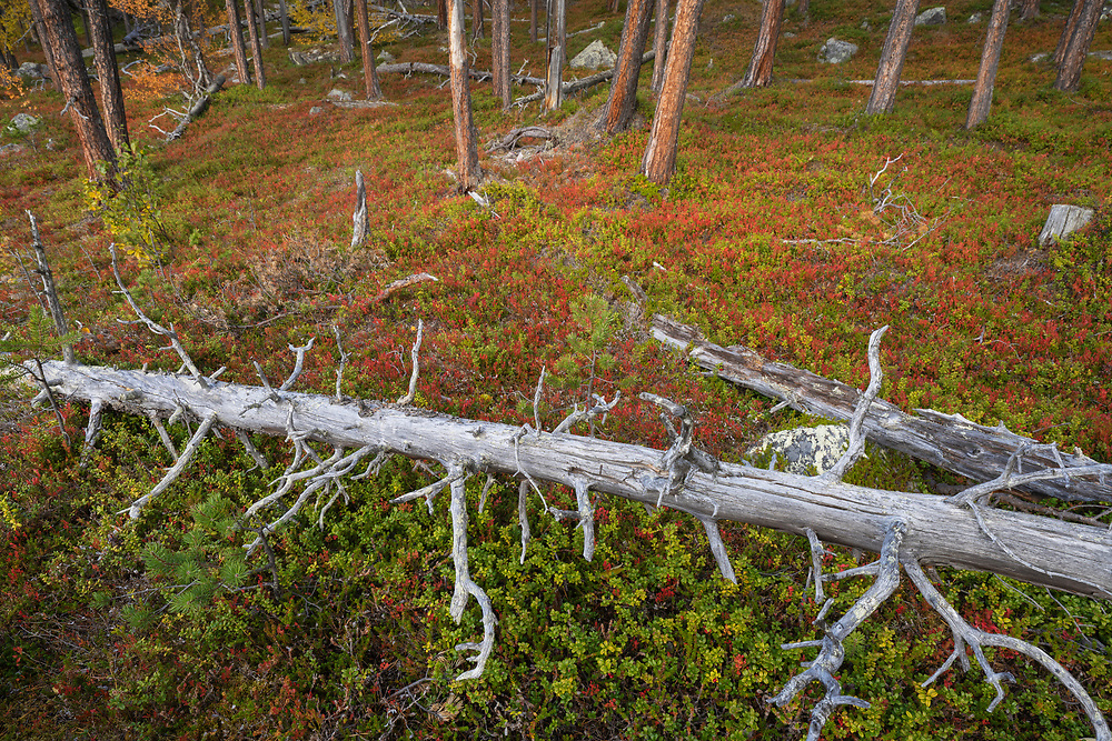 Aged Scots pines in red Blueberry leaves, Old-growth pine forest in the Stora Sjoefallet National Park, Laponia Unesco World Heritage Site, Norrbotten, Lapland, Sweden