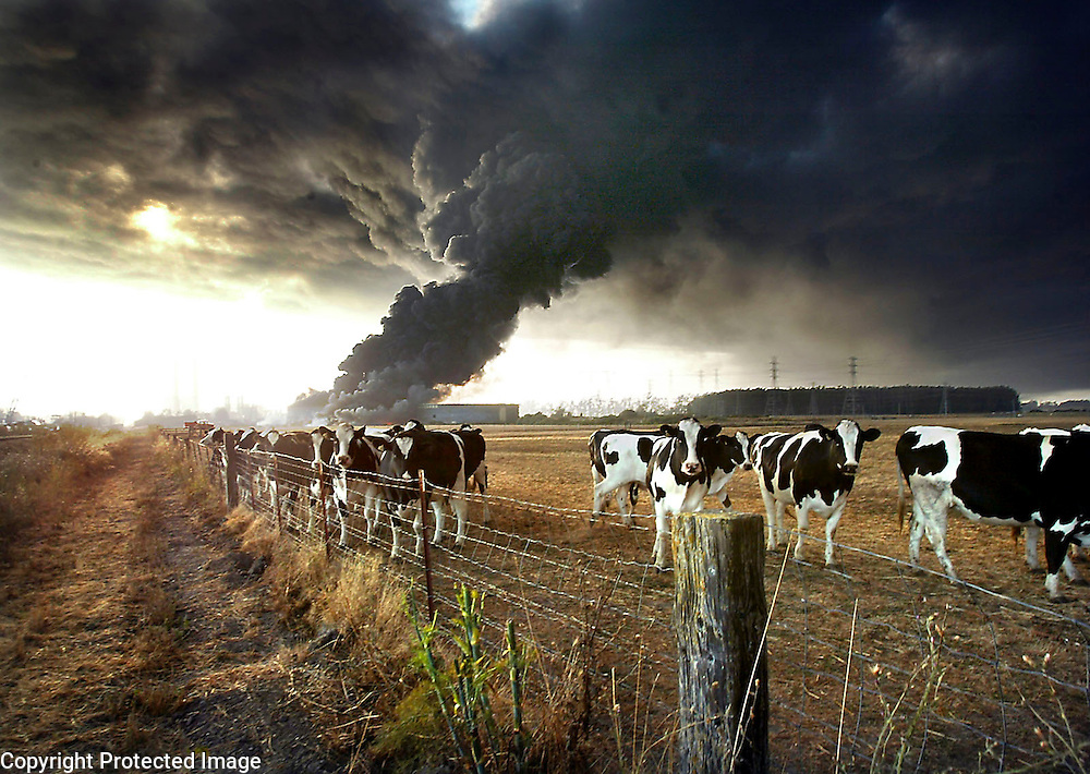 A herd of cows belonging to Monterey County supervisor Lou Calagno graze serenely as a massive fuel-oil tank fire rages near Duke Energy's Moss Landing, California power plant on July 8, 2003.  <br /> Photo by Shmuel Thaler <br /> shmuel_thaler@yahoo.com www.shmuelthaler.com