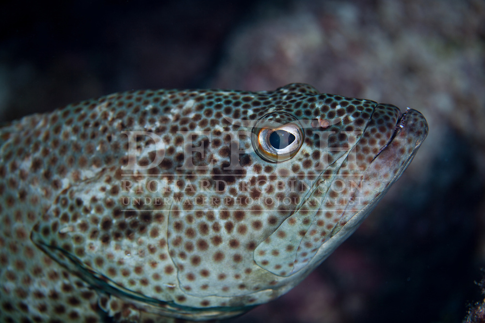Epinephelus tauvina (Greasy Grouper) at South Minerva Reef also known as Teleki Tonga a disputed territory in the South Pacific between Tonga and Fiji. <br /> Tuesday 20 January 2015. <br /> Photograph Richard Robinson.