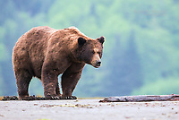 Frank the Tank, a large dominant male grizzly bear, in the Khutzeymateen Grizzly Bear Sanctuary, BC, Canada