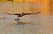 A Double Crested Cormorant rising from the sunlit water of a small lake in Southern California.