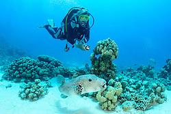 Arothron stellatus, Taucher und Riesen Kugelfisch, stellate puffer, Starpuffer and scuba diver, Safaga, Rotes Meer, Ägypten, Red Sea Egypt