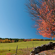 Red Maple tree with fall colors beside an old stone wall on a Vermont farm, set against a bright blue sky