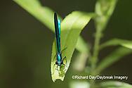 06014-00312 Ebony Jewelwing (Calopteryx maculata) male Washington Co. MO