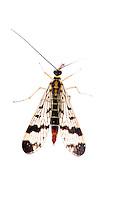 IFTE-NB-007816; Niall Benvie; Panorpa communis; scorpion fly; Europe; Austria; Tirol; Fliesser Sonnenhänge; insect invertebrate arthropod; vertical; high key; black white; controlled; adult; one; upland grasssland meadow woodland edge; 2008; July; summer; strobe backlight; Wild Wonders of Europe Naturpark Kaunergrat