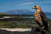 Galapagos Hawk (Buteo galapagoensis)<br /> Wolf Volcano. Isabela Island, GALAPAGOS ISLANDS<br /> ECUADOR.  South America<br /> This is one of the world's rarest raptors with around 800 individuals living around the islands. Although they are commonly seen they are a vulnerable species. They scavenge on dead carcasses as well as hunt iguanas, snakes, rats, birds etc.