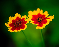 Plains Coreopsis flower. Image taken with a Fuji X-T3 camera and 80 mm f/2.8 OIS macro lens