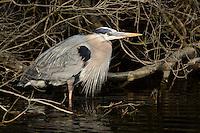 Great Blue Ardea herodias Heron, Chincoteague National Wildlife Refuge, Virginia, USA