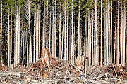 Edge of a clearcut pine forest on the Olympic Peninsula, Washington.