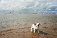 Nederland, Zandvoort, 15 aug 2014<br /> Jack russel hondje in de branding op het strand van Zandvoort. <br /> Foto (c) Michiel Wijnbergh
