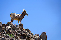 Big Horn Sheep - Anza Borrego