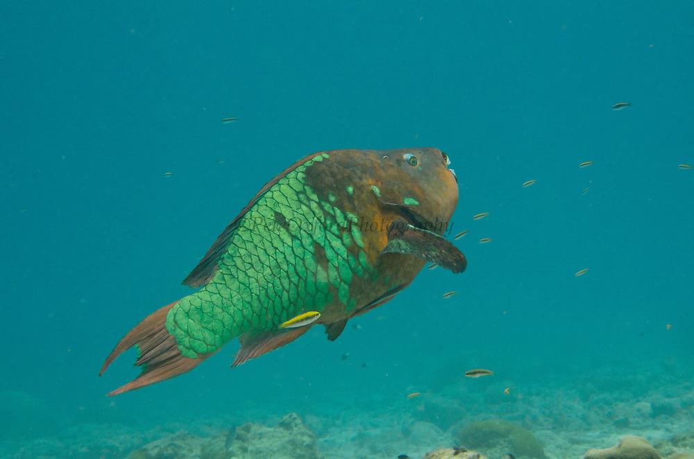 Blue Parrotfish (Scarus coeruleus)<br /> BONAIRE, Netherlands Antilles, Caribbean<br /> HABITAT & DISTRIBUTION: Over sand or reefs<br /> Florida, Bahamas, Caribbean, north to Maryland & Bermuda