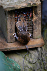 Wood mouse (Apodemus sylvaticus) eating peanuts from a garden bird feeder, Leicestershire, England, UK.